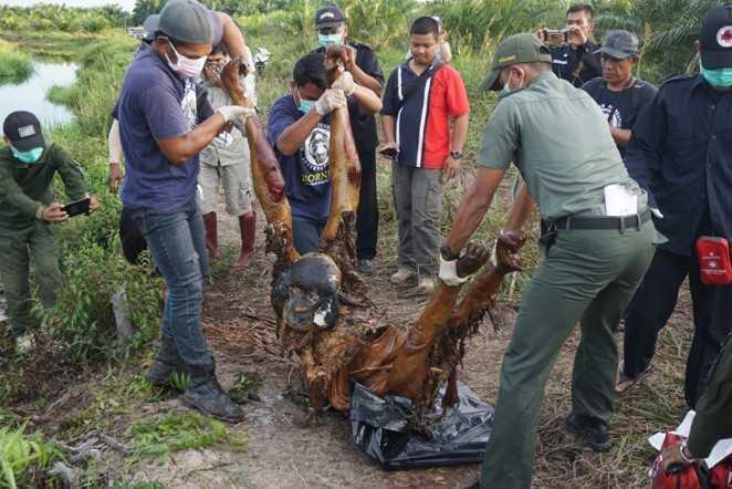 Foto-bangkai-orangutan-di-PT-WSSL-II-tahun-2018