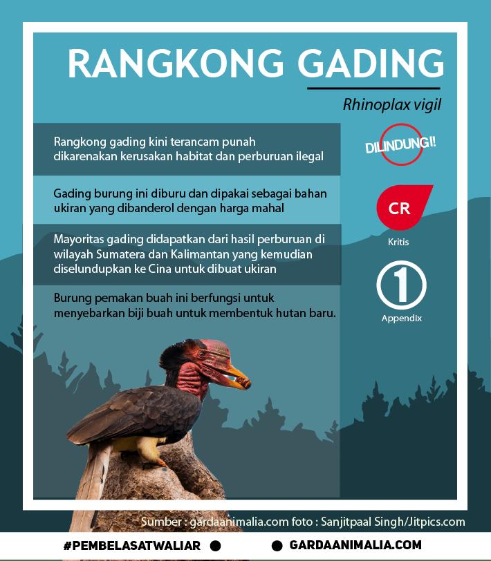 rangkong gading 1@3x