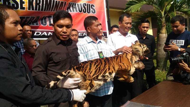harimau sumut Okezone-Wahyudi Aulia SIregar