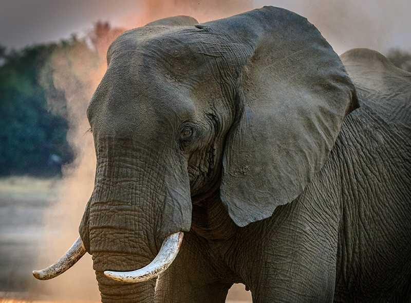 Gray Elephant - Harvey Sapir (800 x 600)