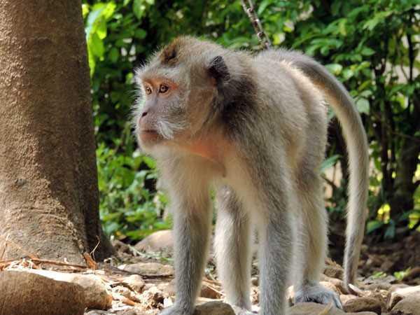 monyet ekor panjang - biodiversity warriors