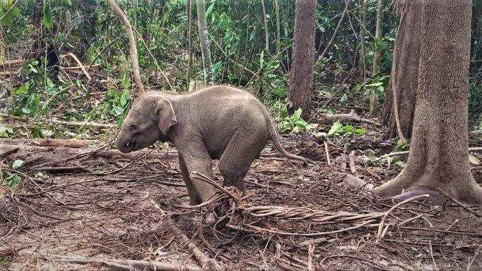 bayi-gajah-terjerat
