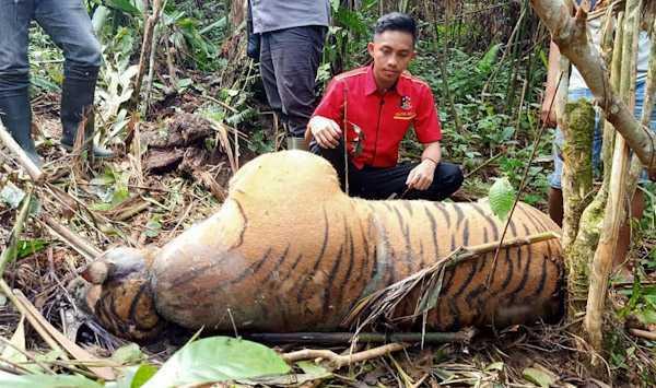 harimau dijerat seluma