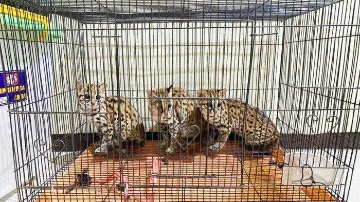 kucing hutan subdit IV tipidter kalsel