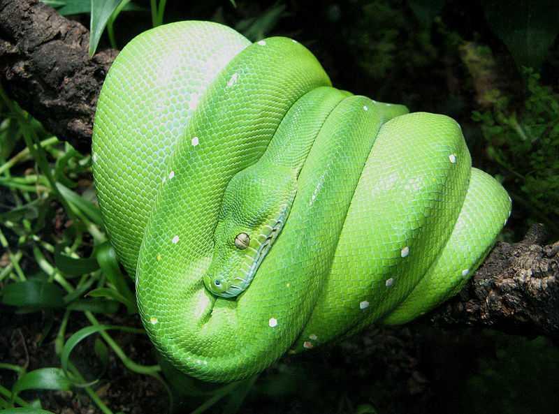 Morelia viridis wikipedia Micha L Rieser