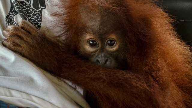 orangutan riau antara rony muharrman 2