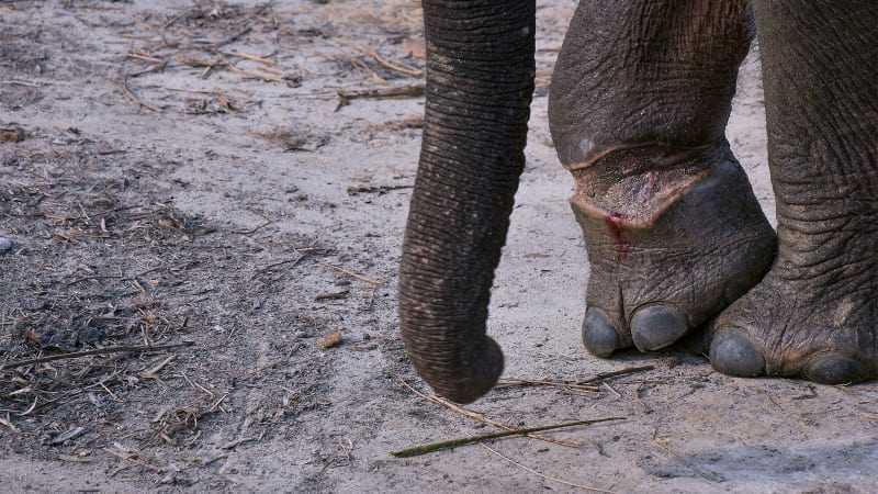 jerat gajah