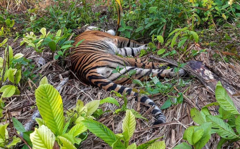 antara foto hafidzah harimau aceh