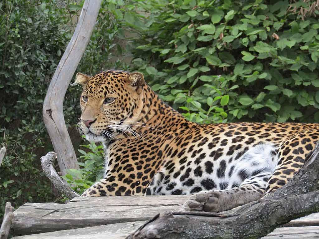 9 Jenis Kucing Hutan Dilindungi Yang Tidak Boleh Dipelihara