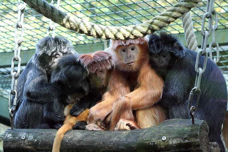 800px-Image-Lutung_Group_02_Zoo_Hannover_Germany
