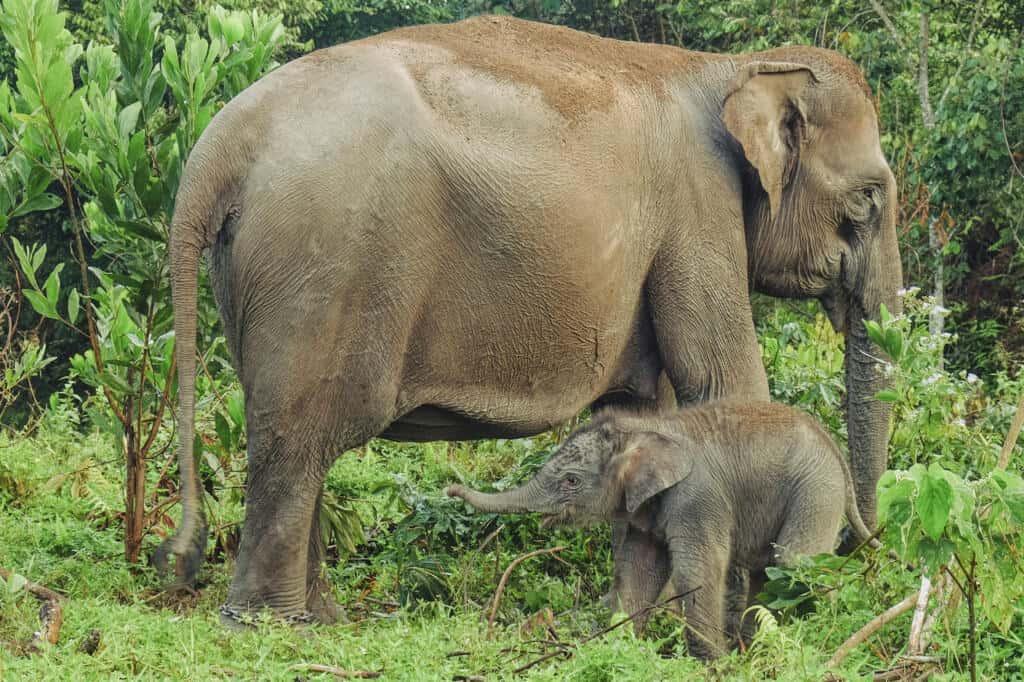 Bayi gajah Sumatera di Taman Nasional Tesso Nilo