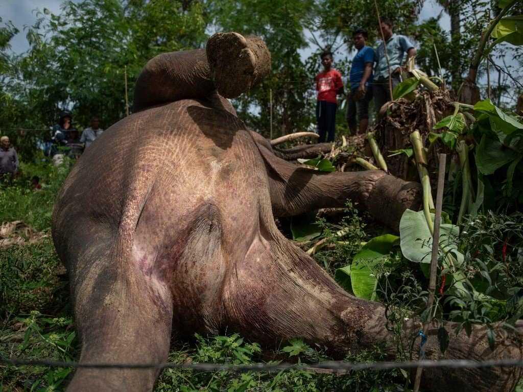 gajah aceh antara