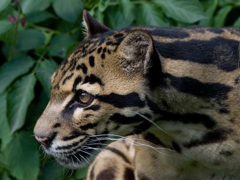 sunda clouded leopard flickr
