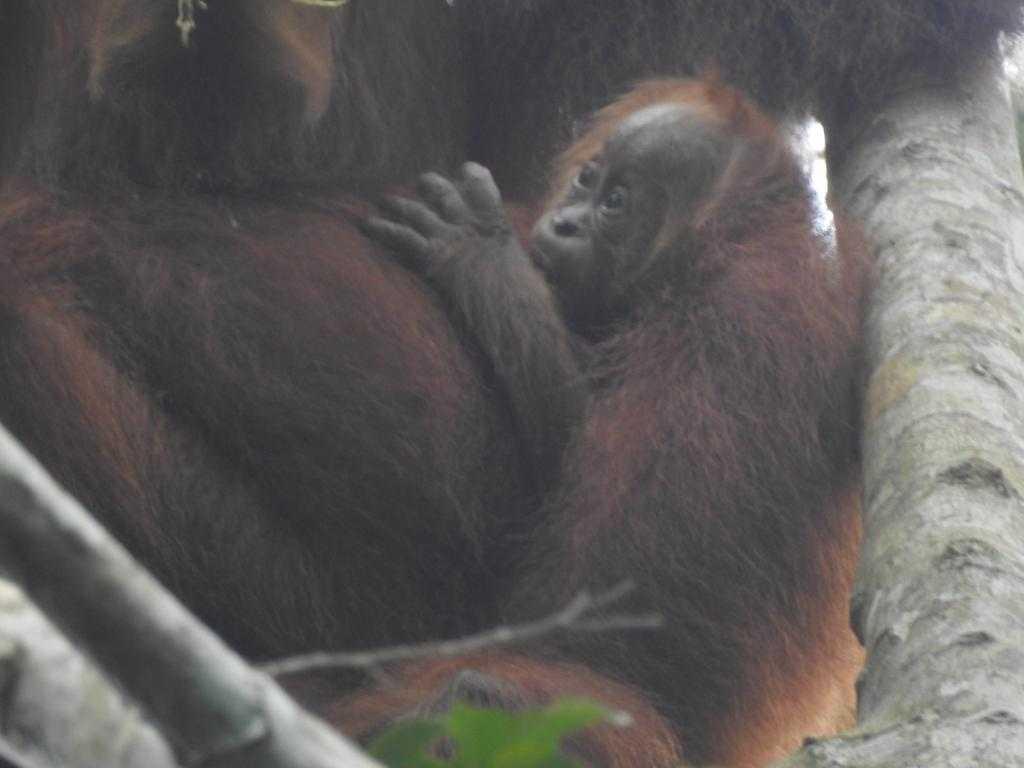 orangutan eja aceh humas klhk