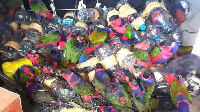 penyelundupan burung papua polisi laut