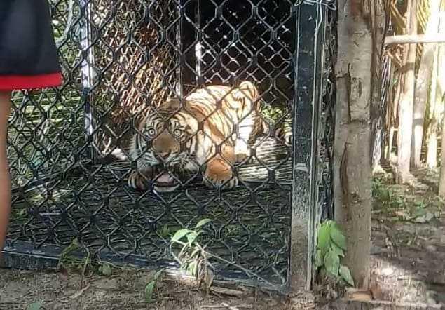 Harimau masuk perangkap