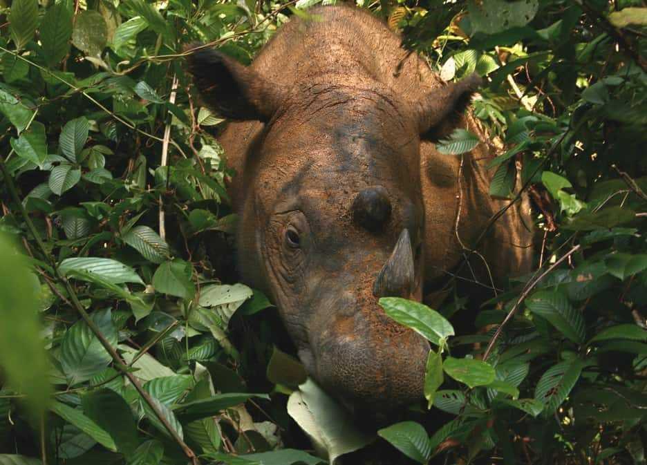 Sumatran_Rhinoceros_
