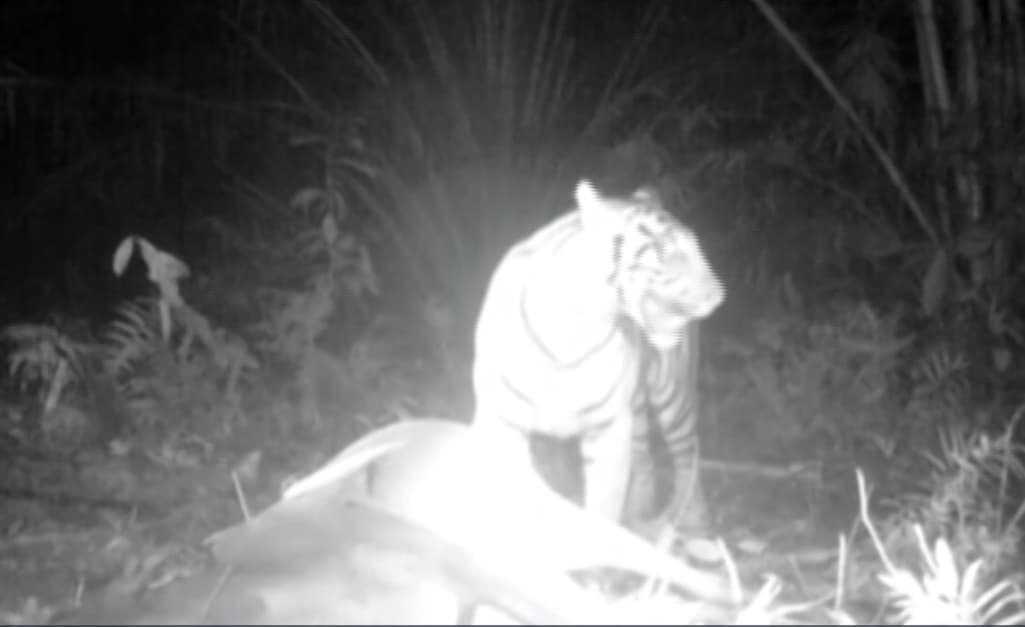 Tangkapan layar ketika harimau memangsa ternak