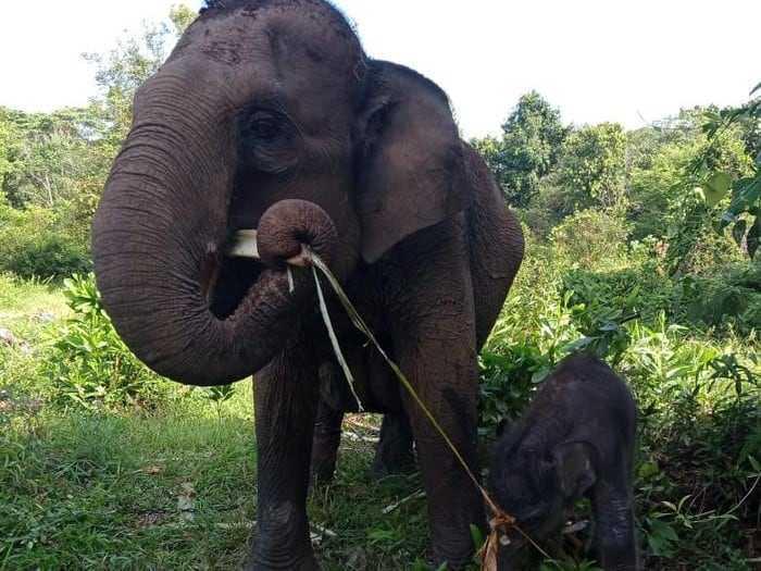 bayi gajah sumatra dan induknya