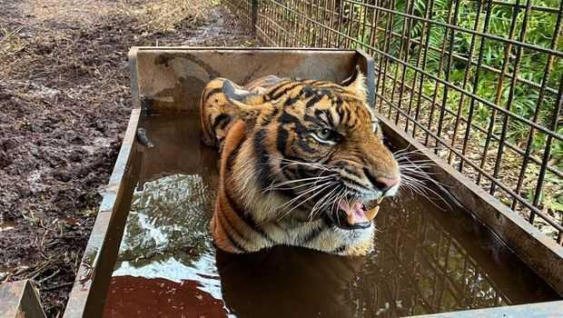 harimau-corina-akhirnya-dilepasliarkan-usai-jalani-perawatan-1_169