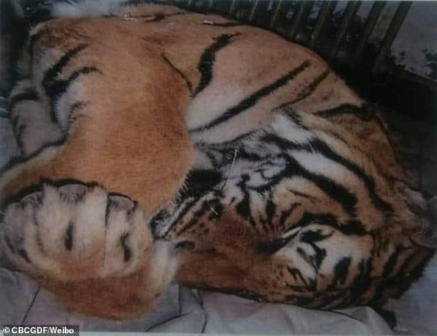 harimau siberia yang mati