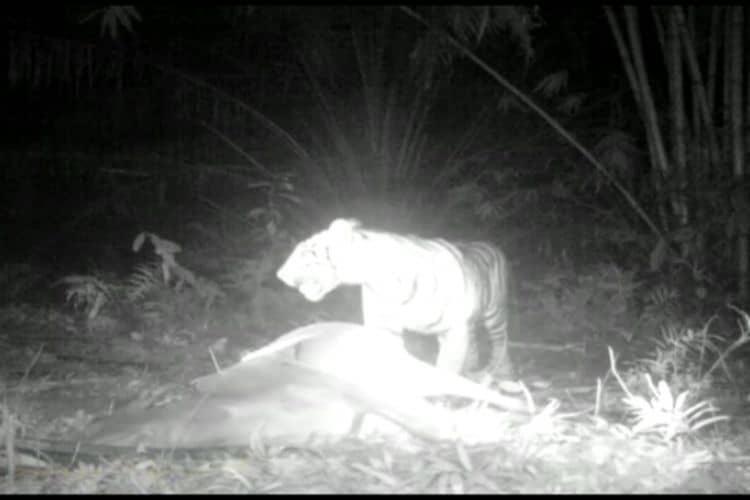 harimau sumatera di sumut