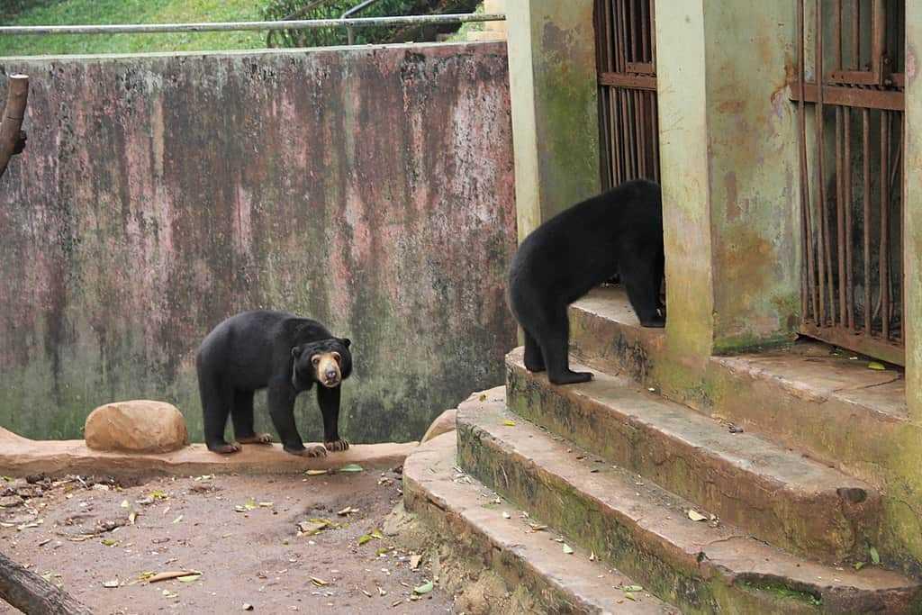 Beruang_Madu