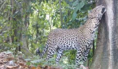 Macan tutul di TN Meru Betiri