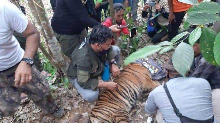 harimau sumatera yang terjerat
