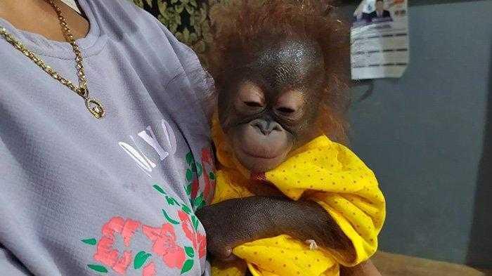 orangutan di desa rawak hilir