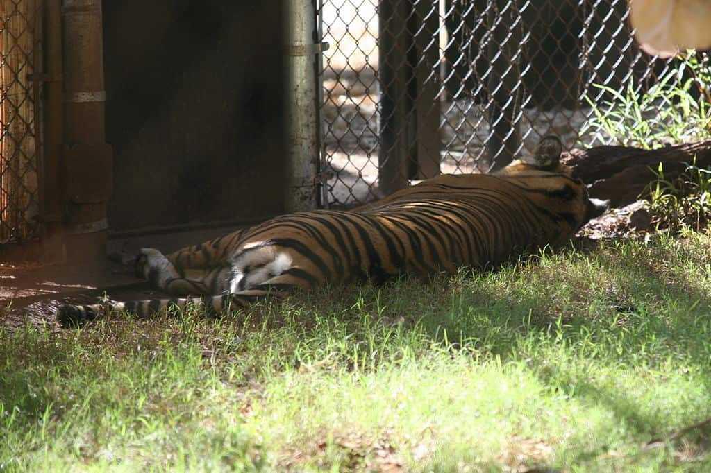 panthera tigria sumatrae