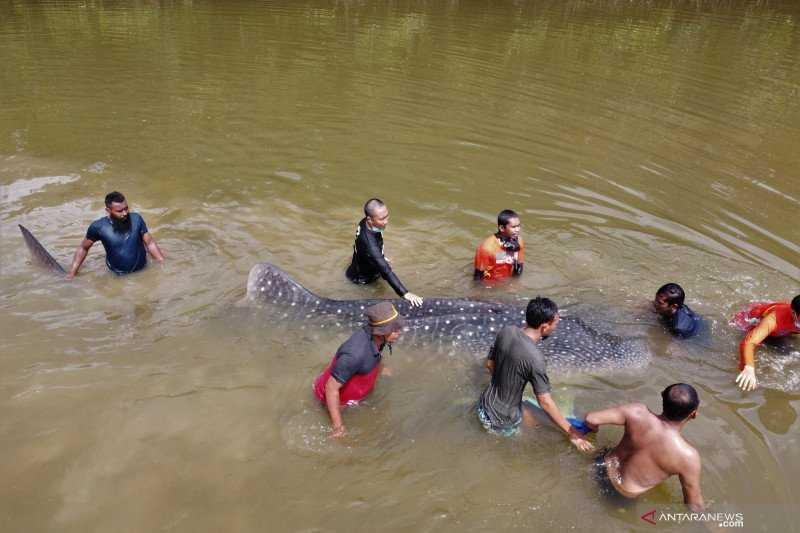 penyelamatan hiu paus
