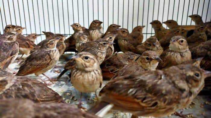 penyelundupan burung dari NTT