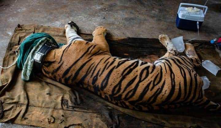 harimau sumatera yang akan dilepasliarkan
