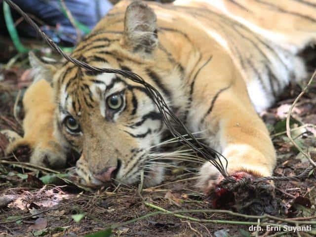 harimau terkena jerat