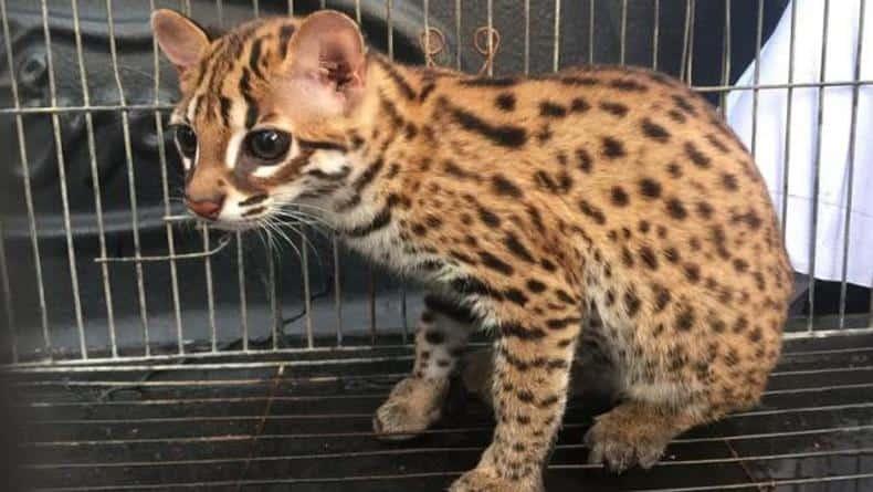 kucing_kuwuk