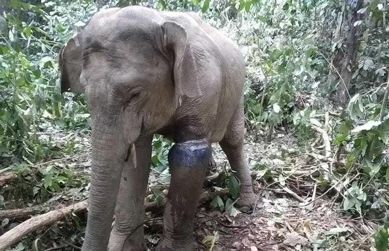 Gajah liar terluka