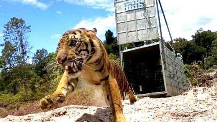 harimau-sumatera-bernama-suro