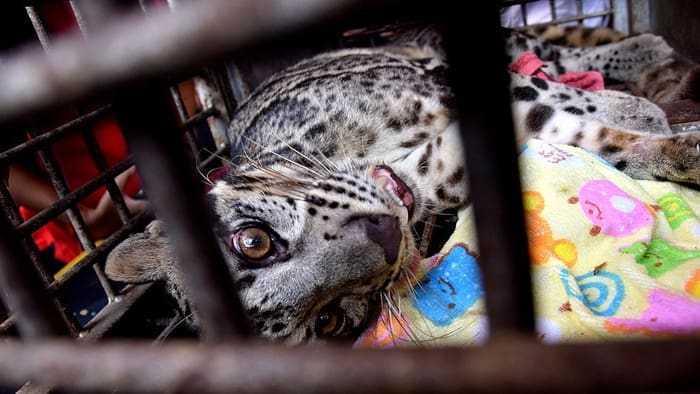 macan dahan korban perdagangan