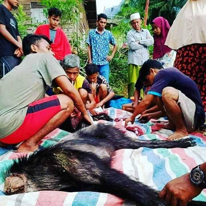 penyembelihan kambing hutan sumatera
