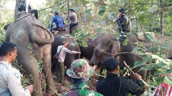 translokasi gajah