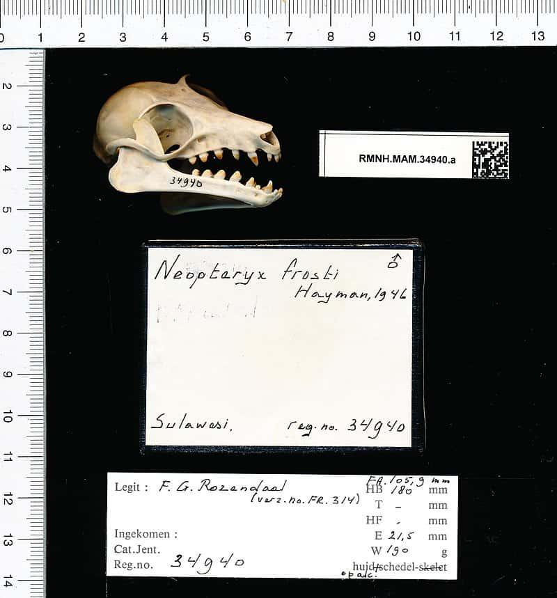 Neopteryx frosti