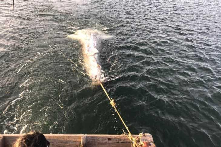 bangkai hiu paus tutul di bengkulu