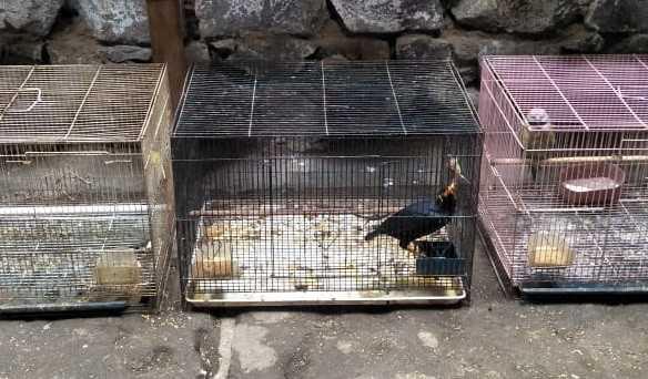 beo nias di Pasar Burung Sukahaji