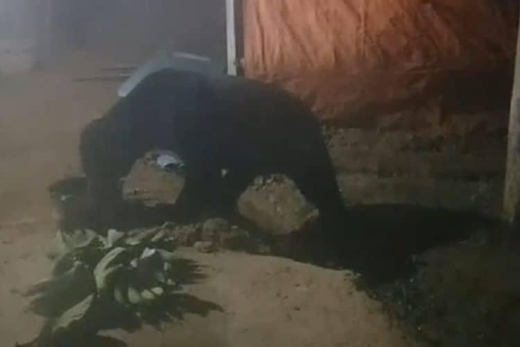 beruang madu minum minyak goreng