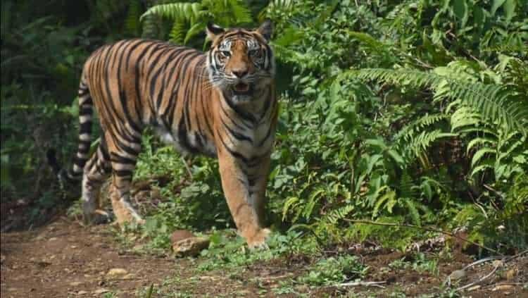 harimau-sumatra-