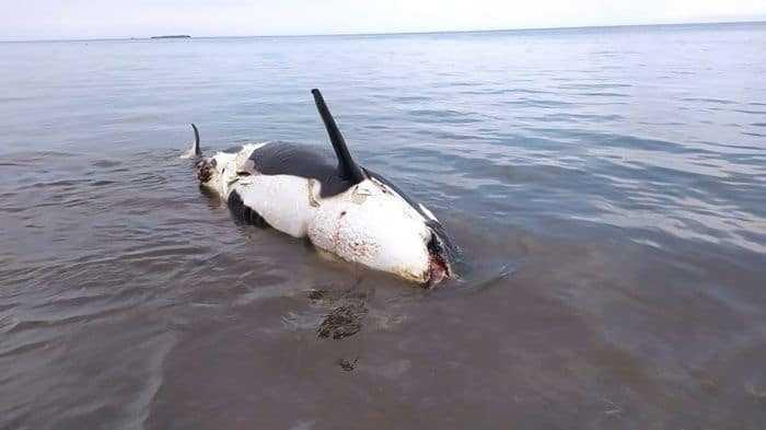 paus orca mati terdampar