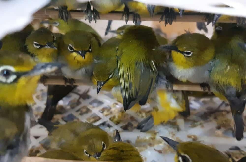 penyelundupan burung ilustrasi