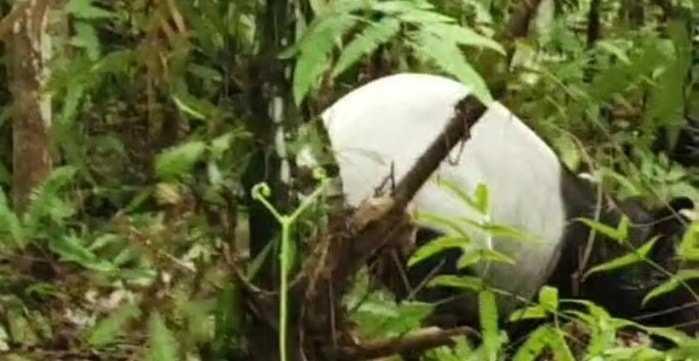 tapir yang terkena jerat di Riau