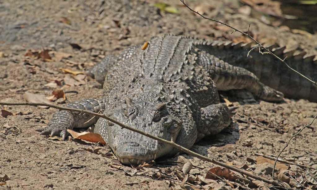 Crocodylus siamensis